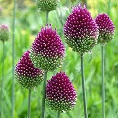Allium sphaerocephalon 'Drumsticks'