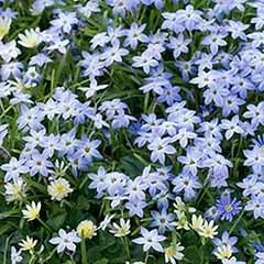 Ipheion uniflorum (spring starflower)