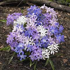 Chionodoxa lucilaea ('Glory of the Snow')