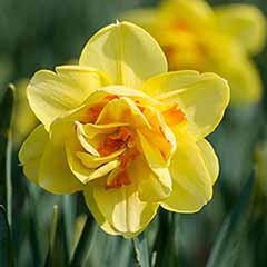 Daffodil 'Tahiti'