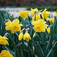 Daffodil 'Carlton'