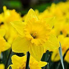 Daffodil 'Trumpet Yellow'