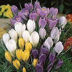 Jumbo Crocus Mix x 50