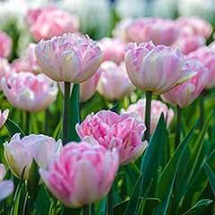 Tulip 'Double Pink'