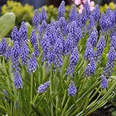 Muscari armeniacum 'Grape Hyacinth'