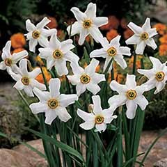 Narcissus 'Pheasant Eye'