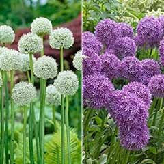 Allium Cut Flower Collection - 'Ping Pong' & 'Violet Beauty'