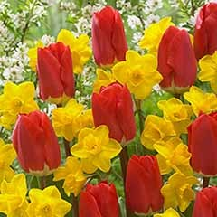 'Early Red' Tulipand Narcissus Daffodil 'Tête-à-Tête' Mix