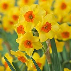 Daffodil 'Falconet' Narcissus