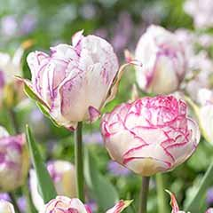 Tulip Mixture Double Touch and Shirley Double
