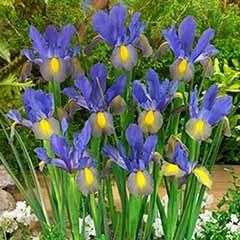 Dutch Iris hollandica 'Mystic Beauty'
