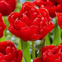 Tulip 'Double Red'