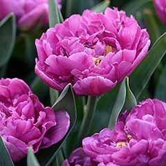 Tulip Tulipa 'Double Purple'