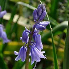 Scilla campanulata (Spanish bluebell)
