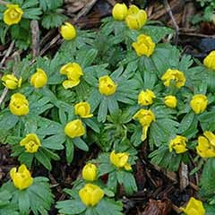 British Native Aconites 'In the Green'