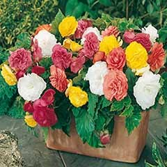Belgian Giant Flowered Upright Begonias x 10 Tubers