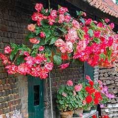 Belgian Giant Trailing Begonias x 10 Tubers