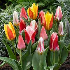 Early Flowering Short Tulip Mix