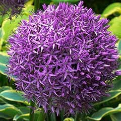 Giant Allium 'Globemaster' -
