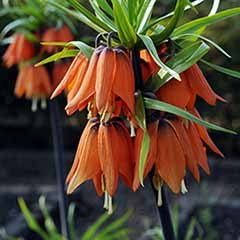 Fritillaria imperialis Crown Imperial