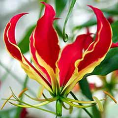'Flame Lily' Gloriosa rothschildiana x 3 tubers