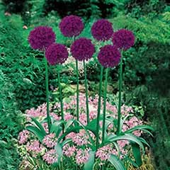 Classic Planter - Allium Mix 45 bulbs