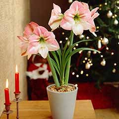 XXXL Jumbo Amaryllis 'Apple Blossom' Bulb