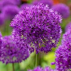 Allium 'Purple Sensation' 25 bulbs