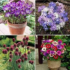 200 Bulbs - Anemone/Allium/Chionodoxa/Crocus