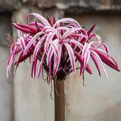 Crinum 'Cintho Alpha' x 2 large bulbs 24/26