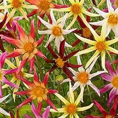 Premium Dahlia 'Honka Starburst' Mix