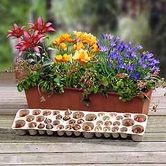 Summer Flowering Balcony Plant o Mat 38 bulbs