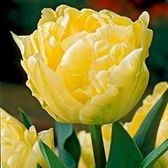 Premium Tulip 'Verona'