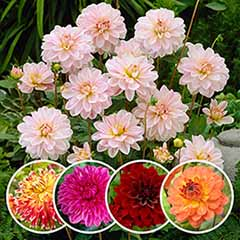 Dahlia Decorative Splash Mixed