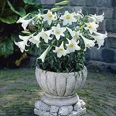 Longiflorum Lily 'White Heaven'
