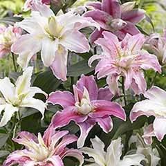 Pollen Free Double Oriental Lilies