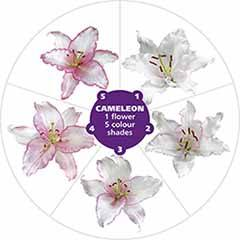 Colour changing Oriental Lily 'Cameleon'