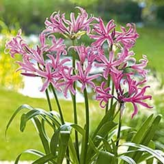 Nerine bowdenii (Guernsey Lily) bulbs - pack of 10