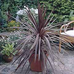 Cordyline 'Red Rumba'