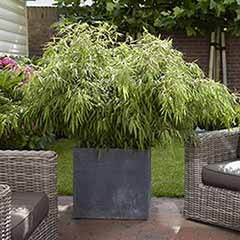 Pair of Fargesia Fountain Bamboos