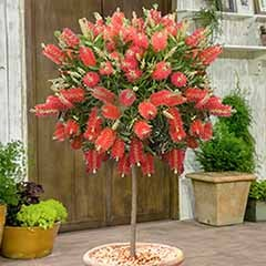 Callistemon 'Bottlebrush' Standard