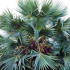 Chamerops humilis 'Cerifera' - Hardy Blue Fan Palm
