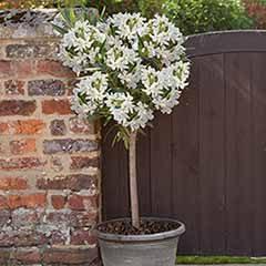 Premium White Oleander Standard 80-100cm