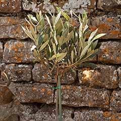 Mini Standard Olive Tree