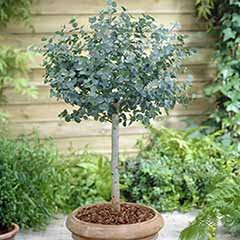Eucalyptus gunnii Standard Tree 80-100cm Tall in a 4L Pot