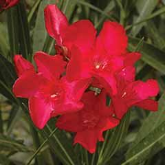 Patio Standard Oleander Red 65cm Tall in 3L Pot