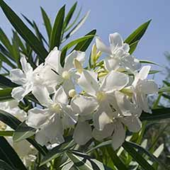 Pair of White Oleander Half Standards 65cm Tall