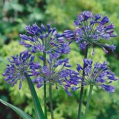 Agapanthus africanus Blue in a 5L Pot