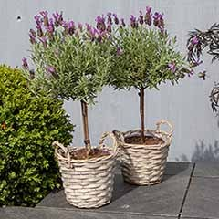 Pair of French Lavender Mini Standards