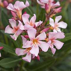 Patio Standard Oleander Peach 65cm Tall in 3L Pot